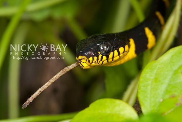 Gold-ringed Cat Snake (Boiga dendrophila) - DSC_9445