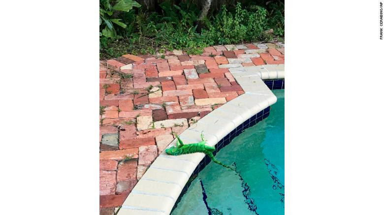 An iguana that froze lies near a pool after falling from a tree in Boca Raton, Florida on Thursday.