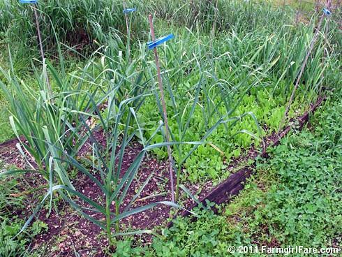 5 Volunteer hardneck garlic bed with direct seeded Parris Island Cos lettuce on 5-14-11 - FarmgirlFare.com