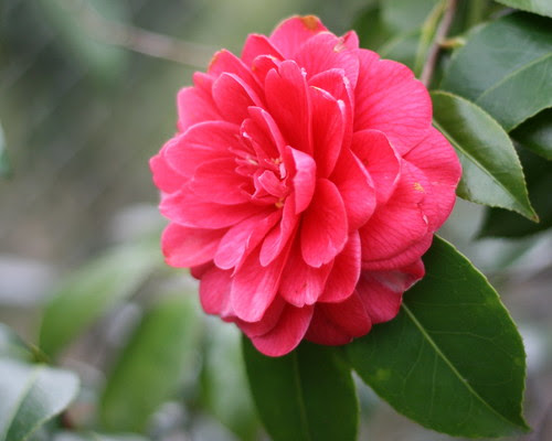Camelias at the Zoo
