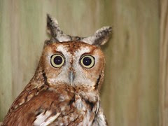 Two owls two ears