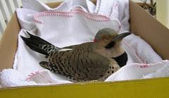 Flicker Bird 1