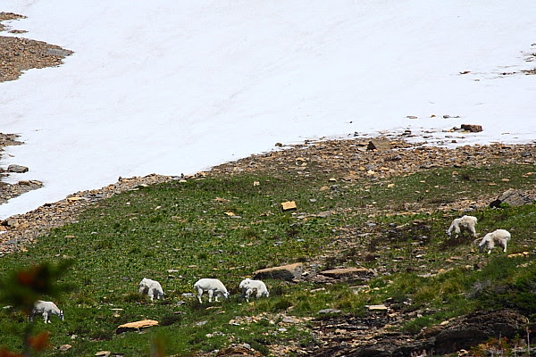 IMG_3606B Mountain Goats