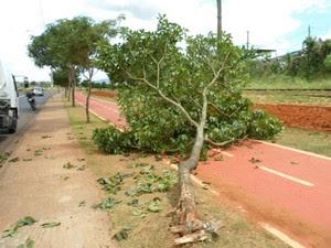 Árvore tomba após colisão frontal (Foto: Guarda Municipal de Boituva)