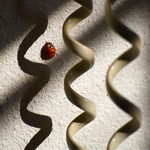 Ladybug rhumba