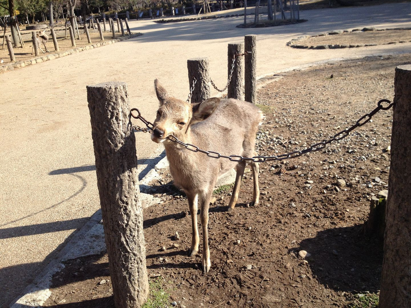 Deer biting a chain in Nara, Japan photo 2013-12-23095131_zpsb7b38c0b.jpg