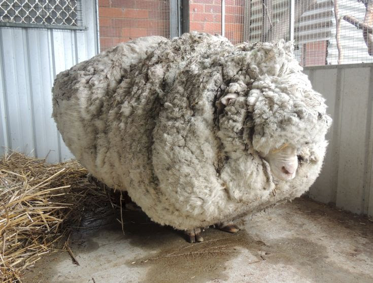 An Australian sheep is pictured before being shorn of over 40 kilograms (88.2 lbs) of wool after being found near Australia's capital city Canberra