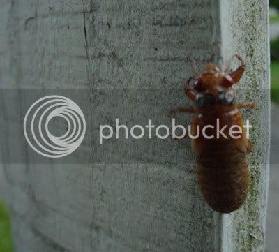 Cicada emerging, crawling
