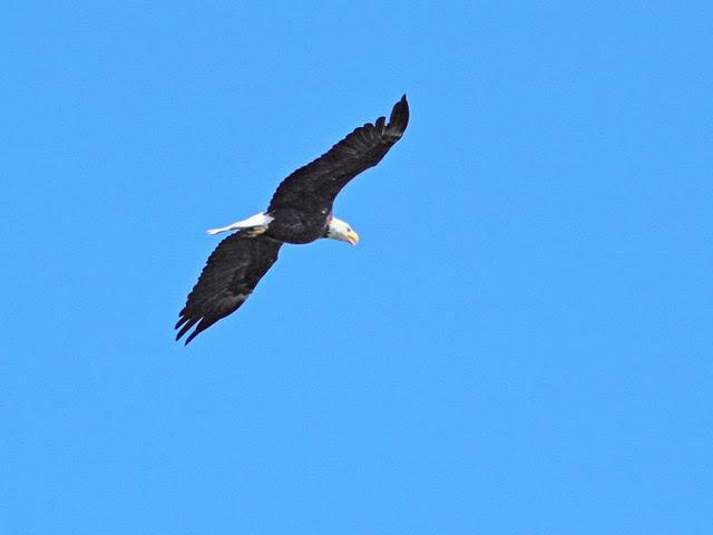 Bald Eagle 20130814