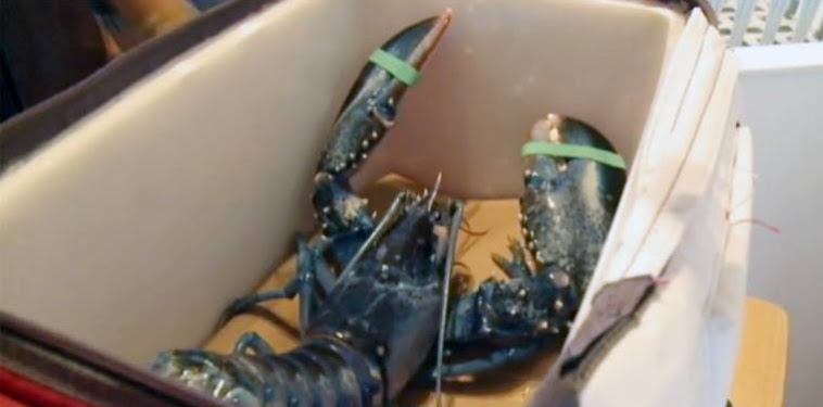 Blue Giant Maine Lobster