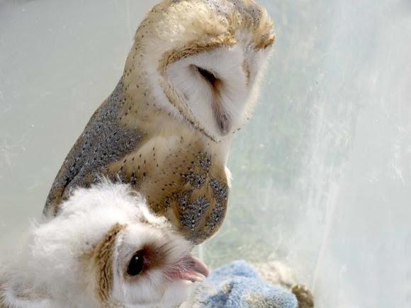 Baby owls sleeping habits   Earth   EarthSky