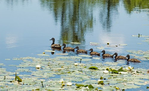 Orillia - Ducks in a Row