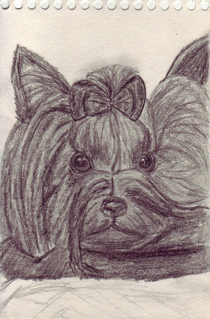 Drawing Yorkie