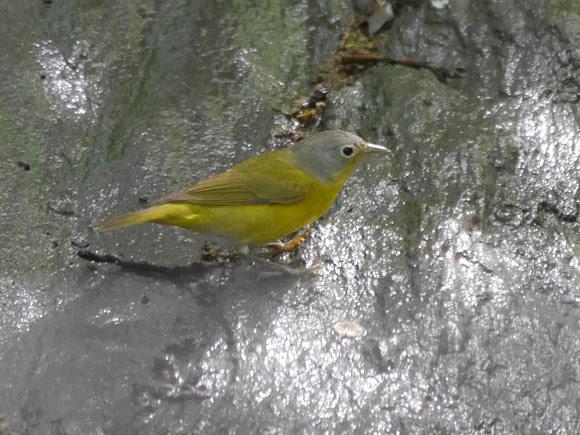Ed Gaillard: birds &emdash; Nashville Warbler, Tanner's Spring