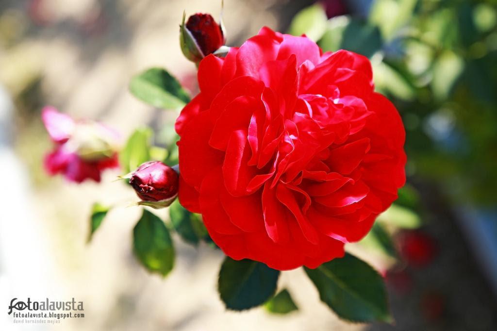Rosa en tus labios carmín. Fotografía creativa - Fotografía decorativa