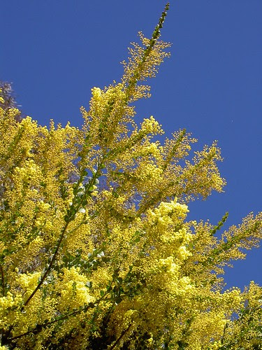 Wattle and the blue sky