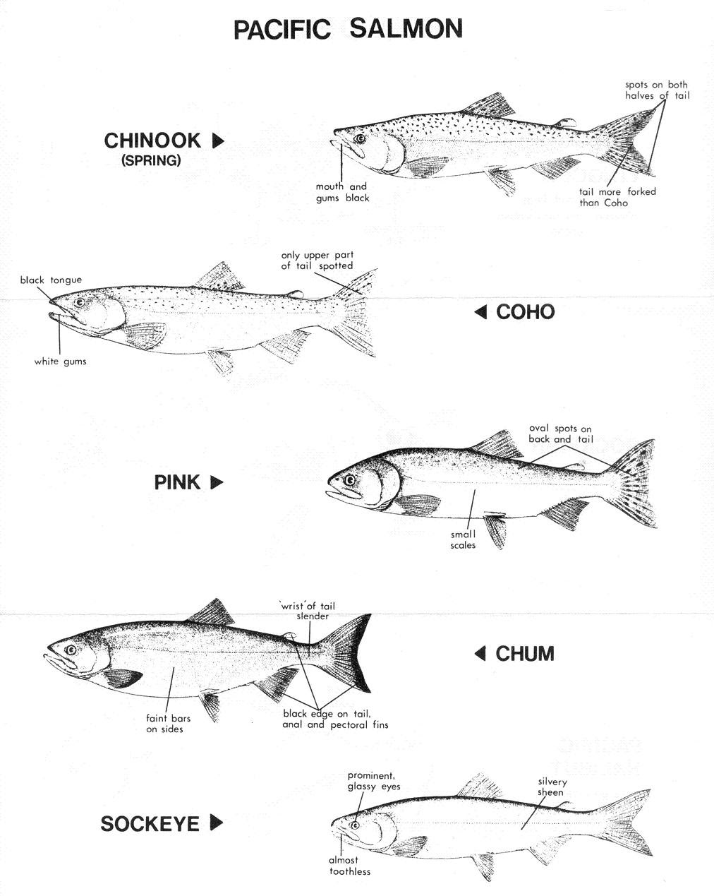 Fanny Bay Salmonid Enhancement Society - Some of Our Fish