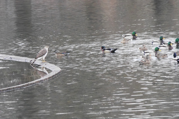 Ed Gaillard: recent &emdash; Juvenile Sharp-Shinned Hawk vs Ducks, Turtle Pond, Central Park