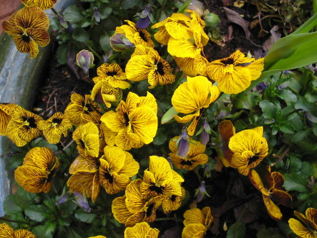 Gelbes Stiefmütterchen
