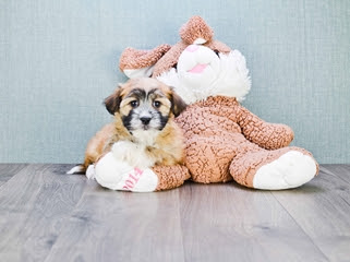 Havanese puppies for sale Florida | Buy puppies from ...
