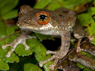 <p>Las ranas comprenden casi el 90% de las especies de anfibios vivos. / Peng Zhang</p>