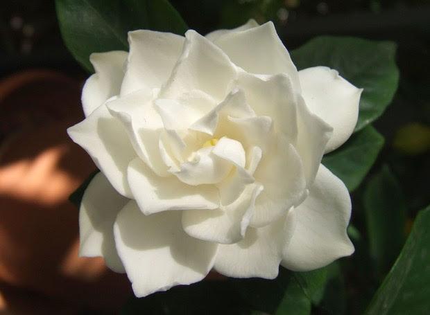 Gardenia (Foto: Reprodução/Peter Paiva)