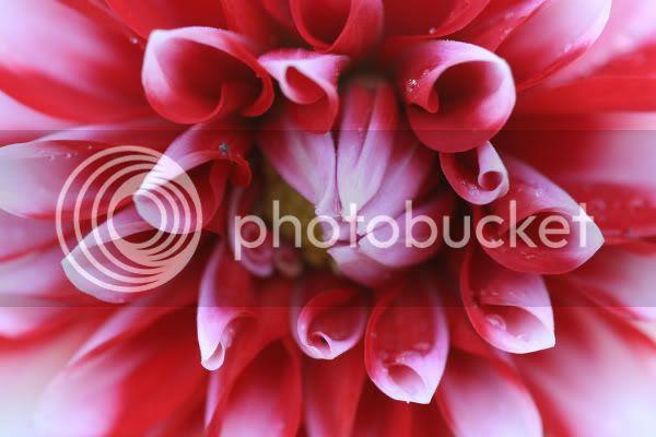 red_white_dahlia_macro_SM4281.jpg dahlia image by Scarlet_Mongoose
