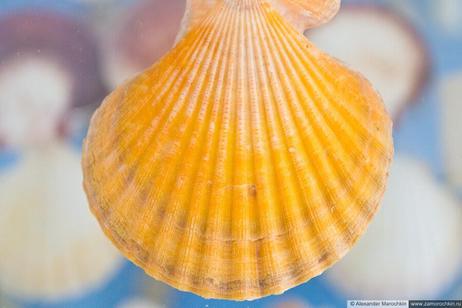 Раковина моллюска оранжевого цвета в музее ракушек Корфу