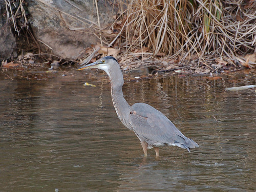 Heron in Morningside Park