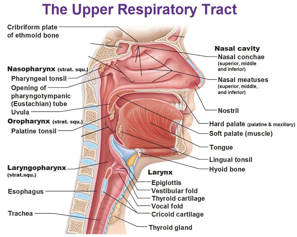 upper respiratory tract nasopharynx osopharynx laryngopharynx nasal conchae meatuses larynx epiglottis vestibular fold cricoid cartilate trachea uvula