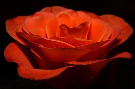 Free photo: Ros, Orange, Flower   Free Image on Pixabay