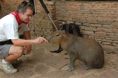 Indiana Bones in Peru: Capybara Blood Bait ? Pawcurious: With Veterinarian and Author Dr. V