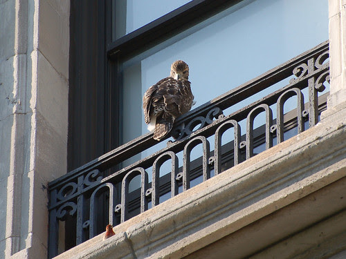 Red-Tail Fledgling and House Finch