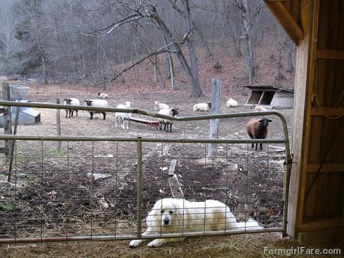 Lambing season begins! (3) - FarmgirlFare.com