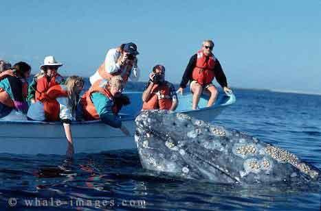 Grey Whale JPG