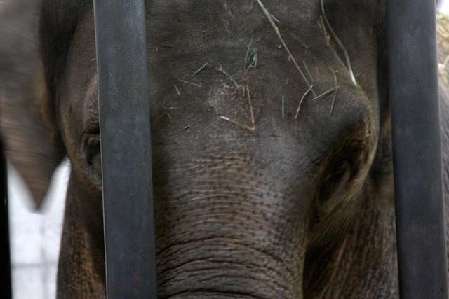 elephants, oregon zoo