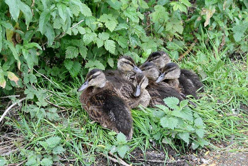 Ducklings resting on the verge