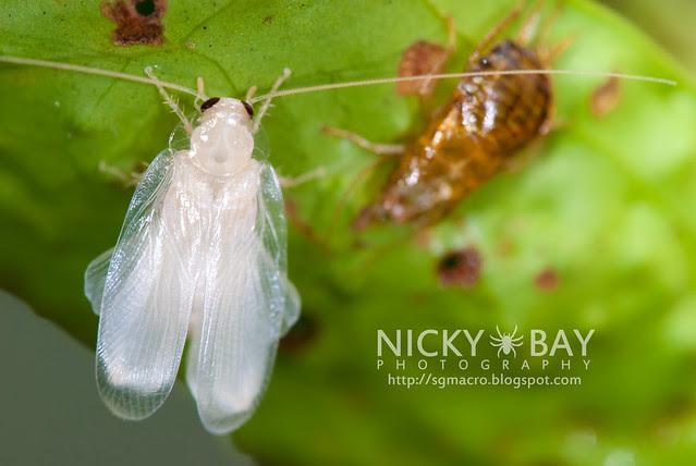Cockroach (Blattodea) - DSC_1118