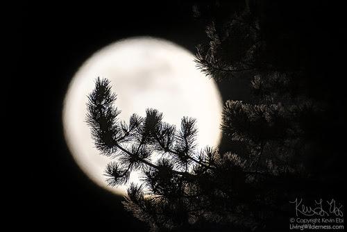 Super Moon Through Evergreen Branch, Snohomish County, Washington