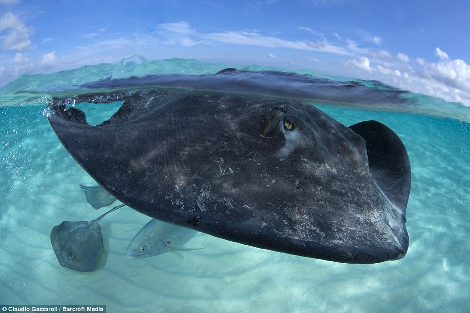 Under the sea: Stingrays can live for 25 years and spend the majority of their lives inactive buried in the sand, drifting with the movement of the tide