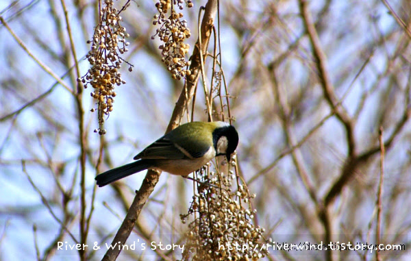 박새  Great tit, Parus major
