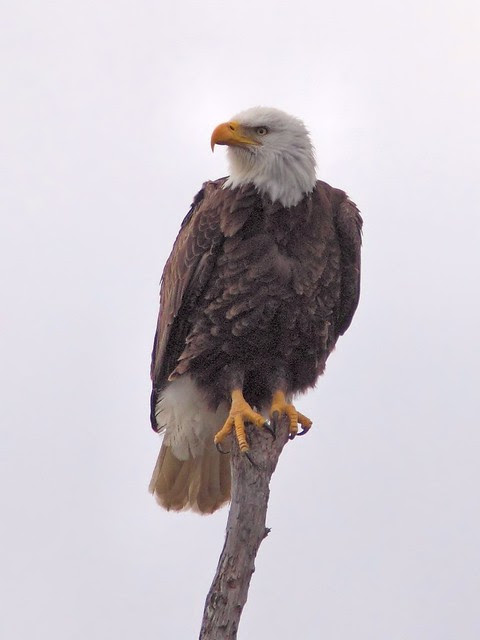 Bald Eagle female roosting COREL 0900 20121221