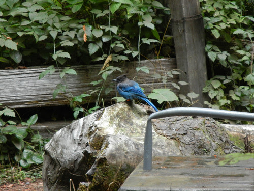 Blue Jay in Redwood Forest _ 6928