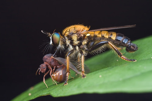 golden robber fly with winged ant prey IMG_9962 copy