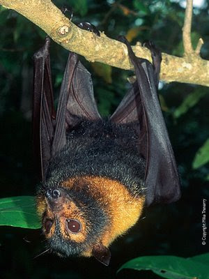 flying fox australia
