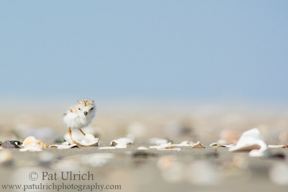 Photograph of a baby piping plover searching among the shells on the beach
