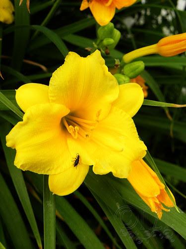 DSCN3696 Day Lily
