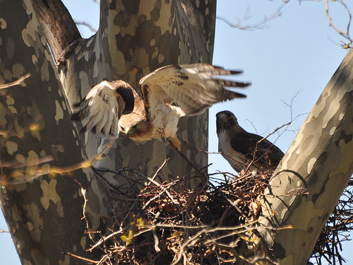 Mama Hawk Takes Flight