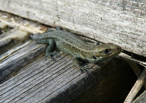 22347 - Common Lizard