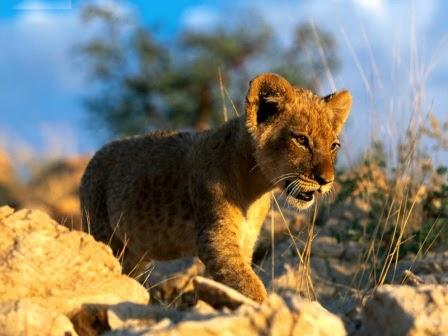 Tigres y leones reproducci n del le n - Leones apareamiento ...